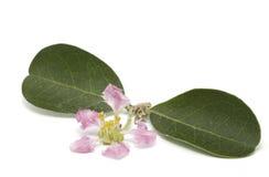 Flor do Acerola isolada Fotografia de Stock