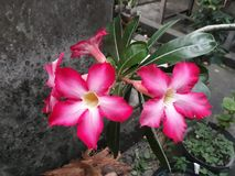 Flor do Adenium fotografia de stock royalty free