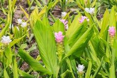 Flor do aeruqinosa da curcuma Imagens de Stock