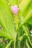 Flor do aeruqinosa da curcuma Fotos de Stock
