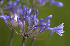 Flor do Agapanthus Imagem de Stock