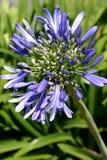 Flor do Agapanthus imagens de stock