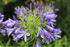 Flor do Agapanthus Imagens de Stock Royalty Free