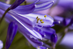 Flor do Agapanthus Foto de Stock Royalty Free