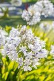Flor do Agapanthus que floresce em uma manhã ensolarada fotos de stock royalty free