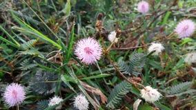 A flor do algodão Fotografia de Stock Royalty Free