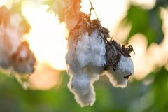 Flor do algodão na árvore no fundo do por do sol do campo do algodão fotografia de stock royalty free