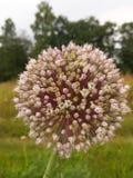 Flor do alho Fotos de Stock Royalty Free