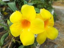 flor do allamanda Imagem de Stock Royalty Free
