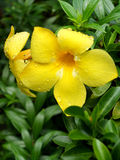 Flor do Allamanda no jardim Fotografia de Stock Royalty Free