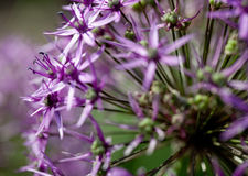 Flor do Allium Imagem de Stock Royalty Free