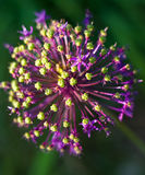 Flor do Allium Fotos de Stock Royalty Free