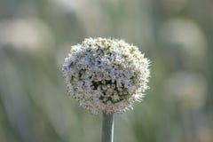 Flor do Allium da cebola Fotografia de Stock Royalty Free