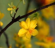 Flor do alperce Imagens de Stock