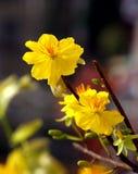 Flor do alperce Imagem de Stock Royalty Free