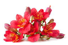 Flor do Alstroemeria Fotos de Stock