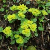 Flor do alternifolium do Chrysosplenium Fotos de Stock Royalty Free