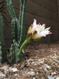 Flor do amanhecer do cacto do jardim Imagem de Stock Royalty Free