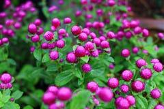 Flor do amaranto de globo Fotografia de Stock Royalty Free