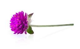 Flor do amaranto de globo isolada no fundo branco Fotografia de Stock