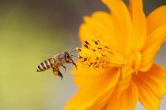 Flor do amarelo do cosmos do amarelo do sulphureus do cosmos Imagem de Stock