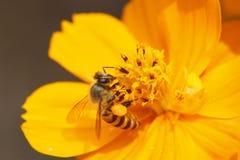 Flor do amarelo do cosmos do amarelo do sulphureus do cosmos Fotografia de Stock Royalty Free