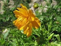 Flor do amarelo do ledebourii dos troles fotos de stock