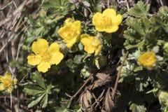 Flor do amarelo do kingcup dos palustris do Caltha com folhas verdes fotografia de stock