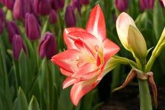 Flor do Amaryllis Fotografia de Stock Royalty Free