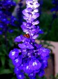 Flor do amor Foto de Stock Royalty Free