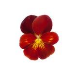Flor do amor perfeito Imagem de Stock