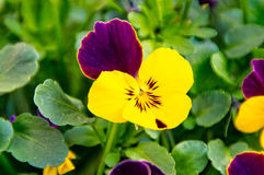 Flor do amor perfeito na caixa da flor Fotos de Stock Royalty Free