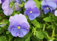 Flor do amor perfeito no azul Fotografia de Stock