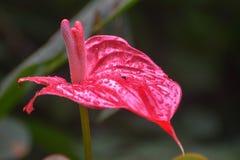 Flor do antúrio cor-de-rosa imagem de stock