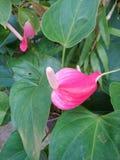 A flor do antúrio foto de stock