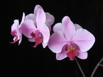 Flor do Aplectrum Imagem de Stock Royalty Free