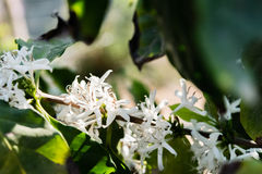 Flor do arbusto do café, goma-arábica do Coffea foto de stock royalty free