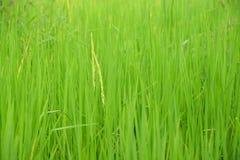 Flor do arroz Foto de Stock