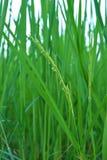 Flor do arroz foto de stock royalty free