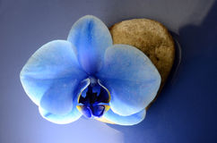 Flor do azul da orquídea Foto de Stock Royalty Free