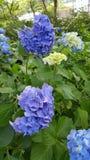 Flor do azul de Kawaguchicho Imagens de Stock Royalty Free