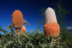 Flor do Banksia, Wildflower, Austrália Ocidental Fotos de Stock