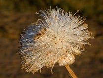 Flor do baobab Close-up madagascar Imagens de Stock