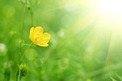 Flor do botão de ouro Fotografia de Stock Royalty Free