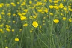 flor do botão de ouro fotografia de stock