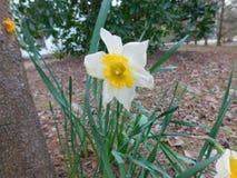 flor do botão de ouro Fotos de Stock