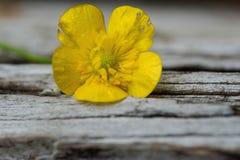 flor do botão de ouro Foto de Stock