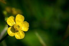 Flor do botão de ouro comum (acris do ranúnculo) Imagem de Stock Royalty Free