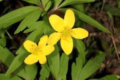 Flor do botão de ouro de rastejamento Imagens de Stock