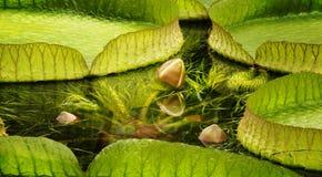Flor do botão de Waterlily cercada waterlily pelas folhas Imagem de Stock Royalty Free